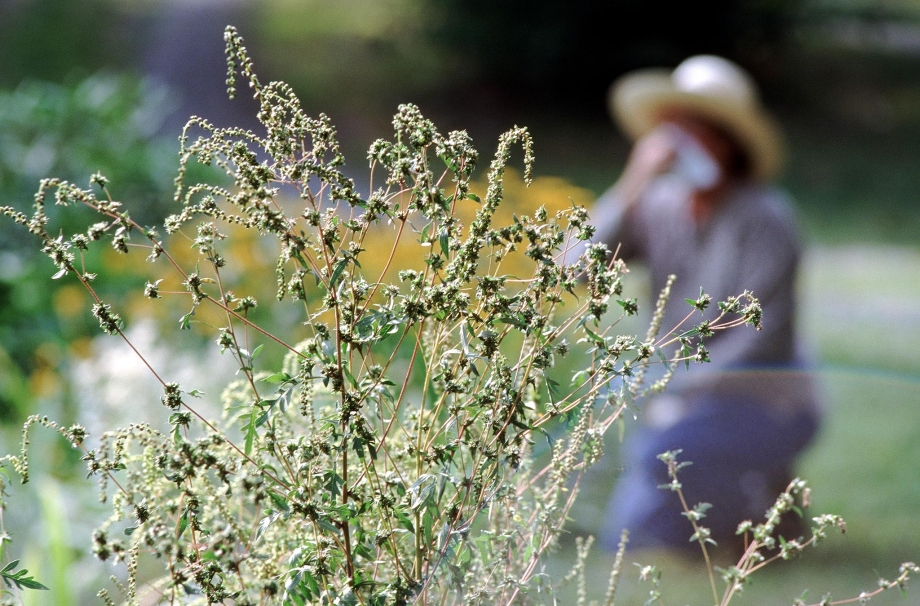 Allergies caused by ragweed