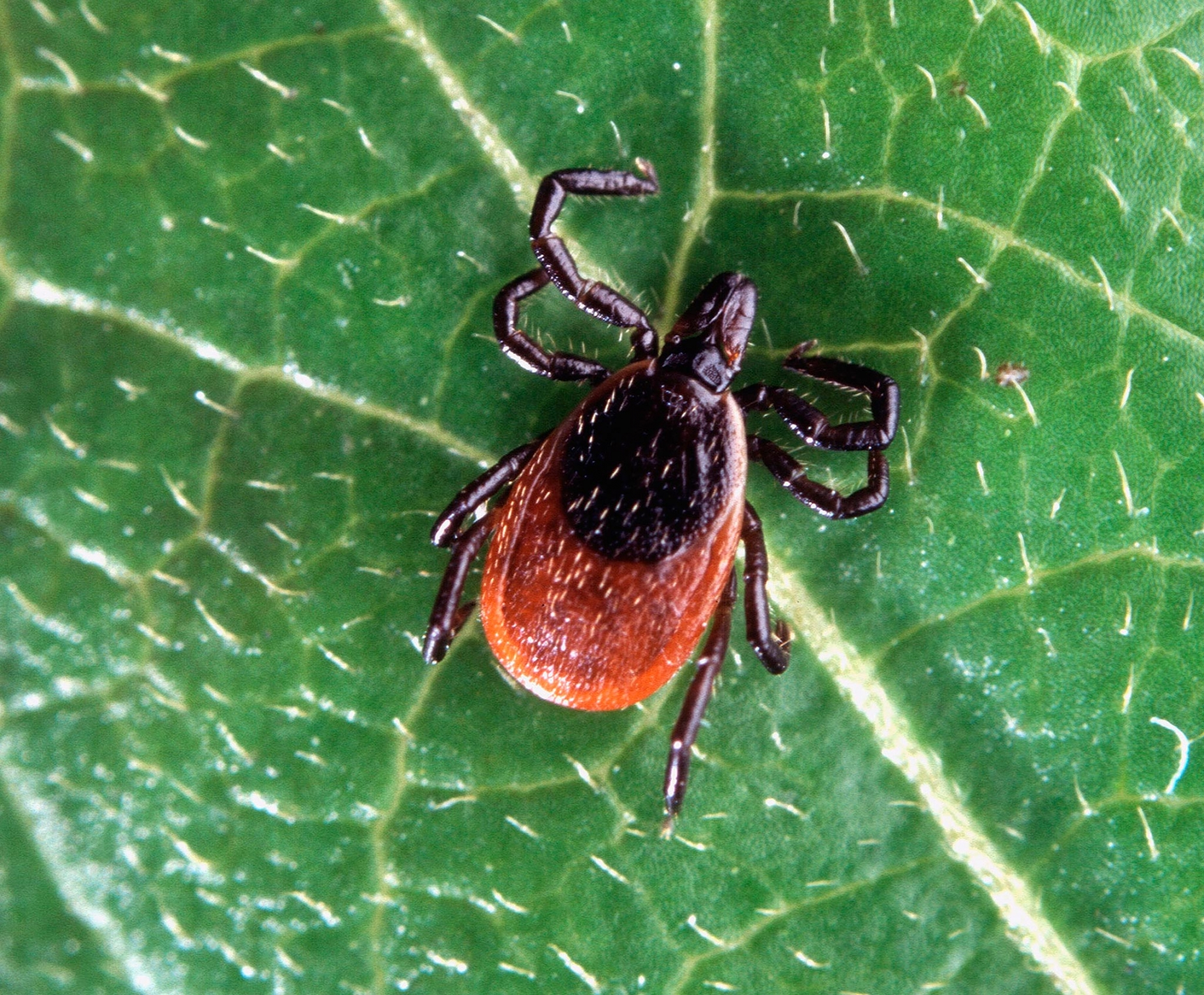 Blacklegged tick