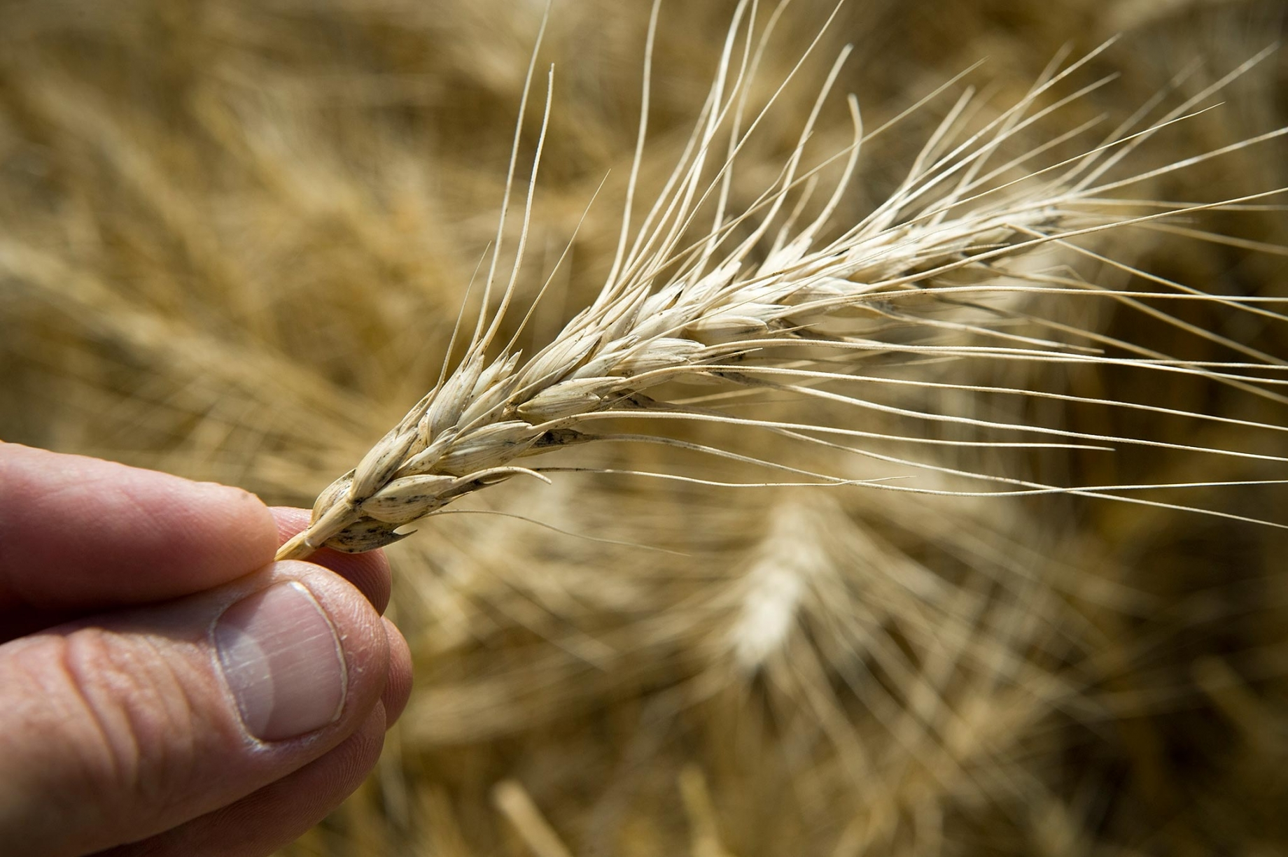 Farmer holding wheat