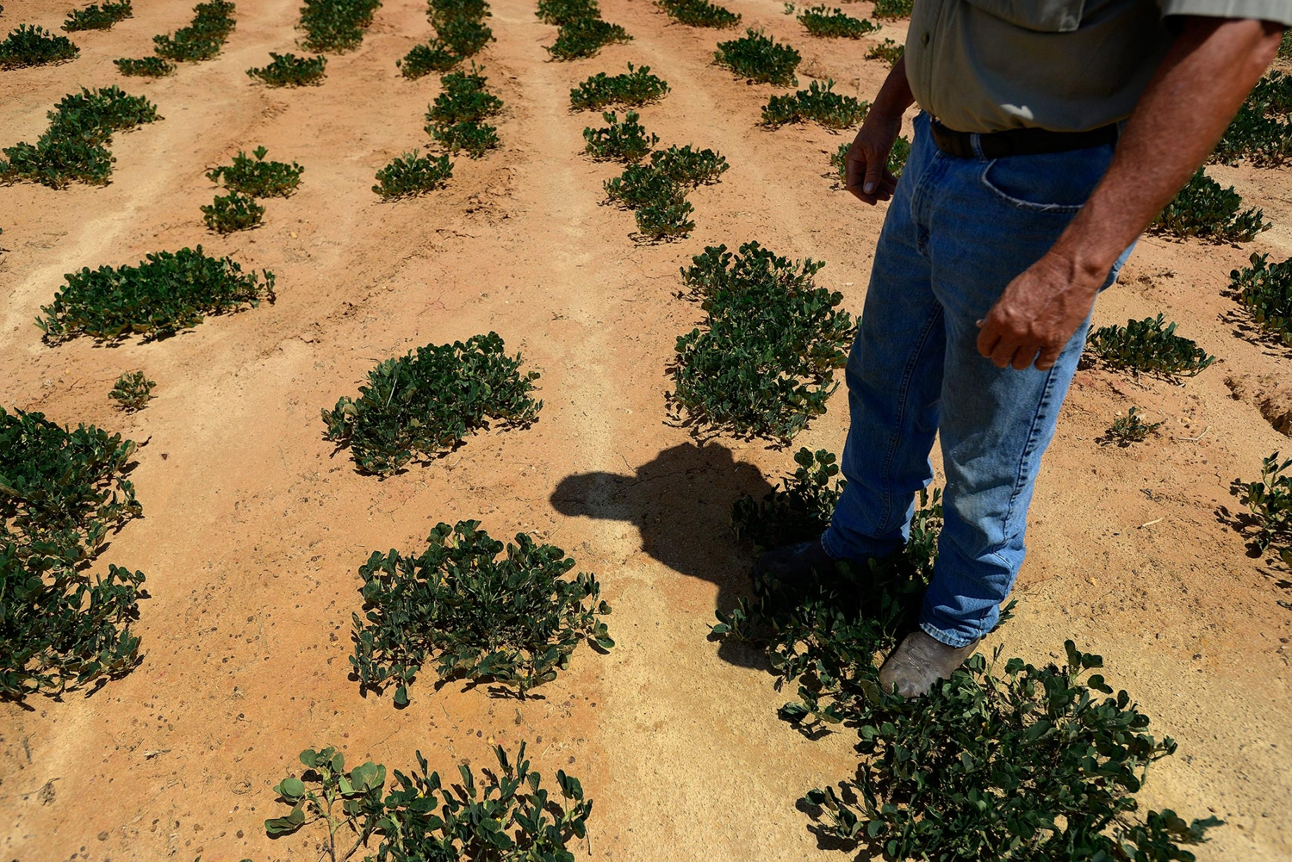 Farmer in drought-stressed peanut  field
