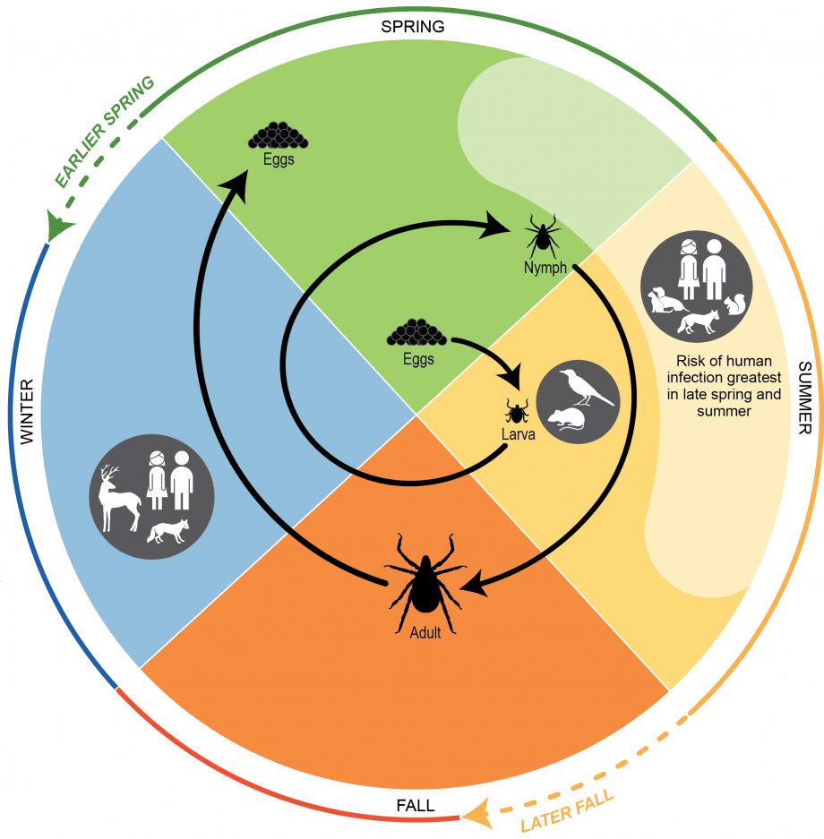 Figure 5.3: Life Cycle of Blacklegged Ticks, <i>Ixodes</i> <i>scapularis</i>