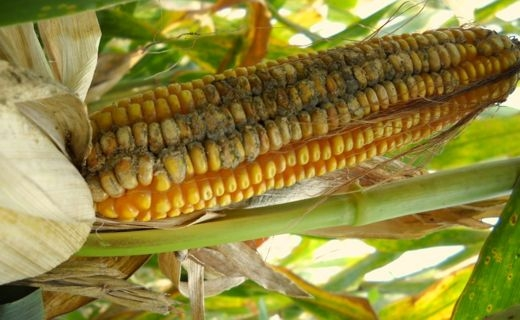 Mycotoxin in Corn